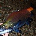 Hirotoさんのヒメマスの釣果写真