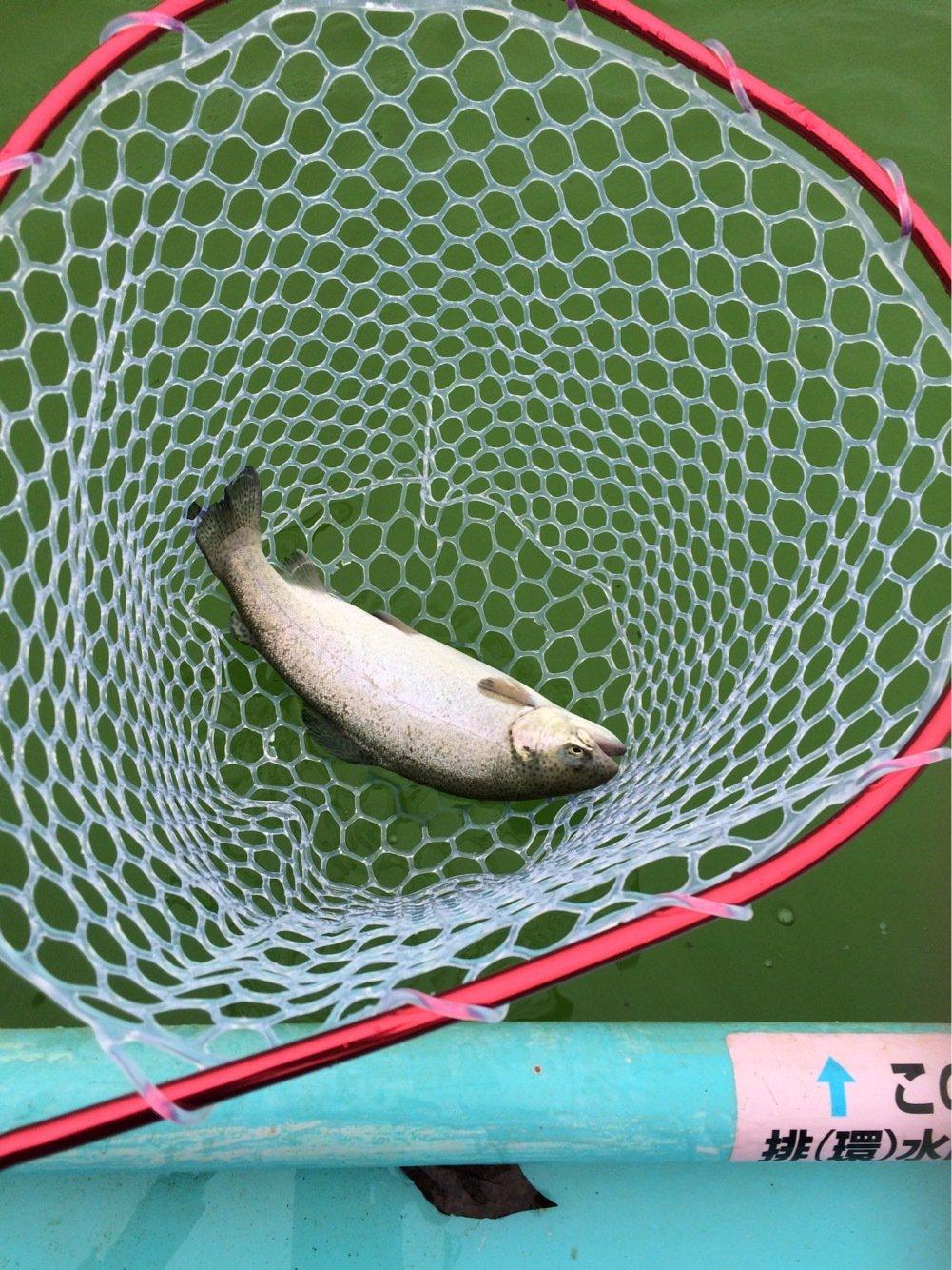 ネズエルさんの投稿画像,写っている魚はニジマス
