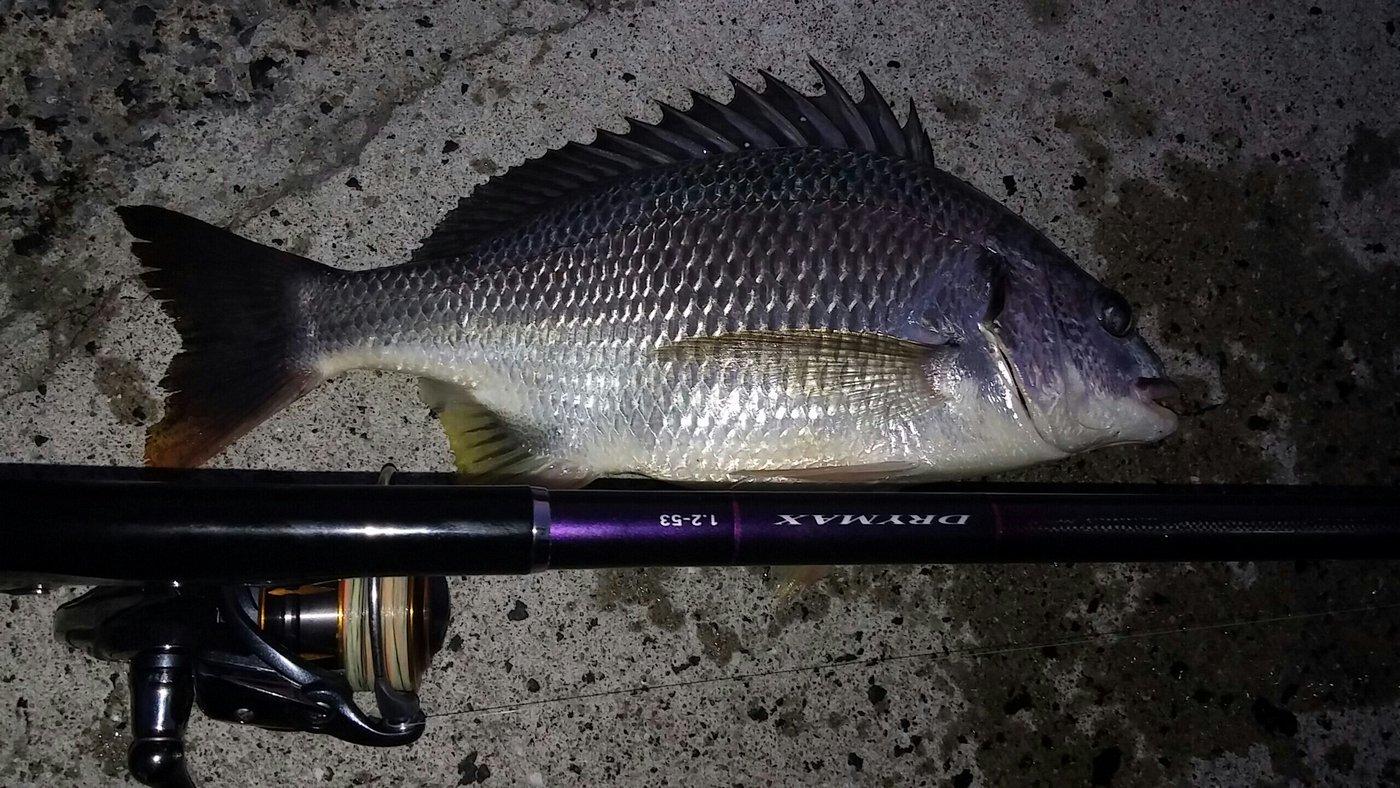 大崎の主さんの投稿画像,写っている魚はキチヌ