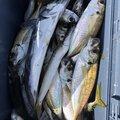 坊主丸さんの新潟県胎内市での釣果写真