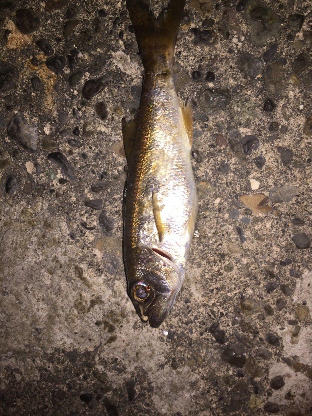 メバルさんの投稿画像,写っている魚はムツ