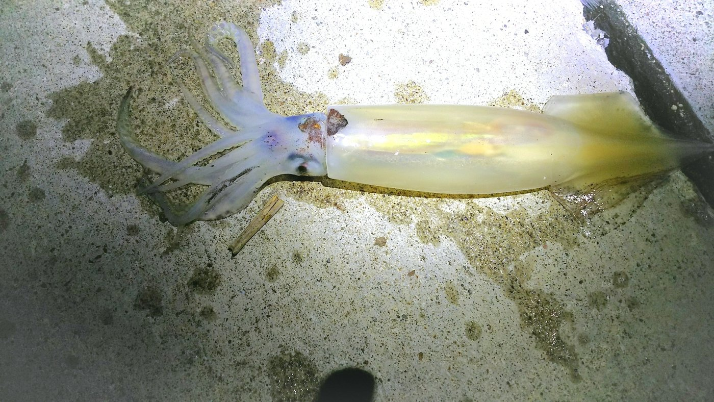 スルメイカの写真