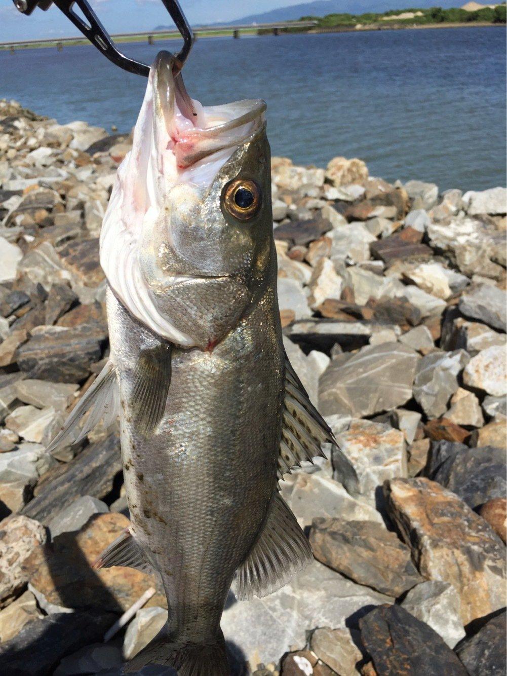 マルスさんの投稿画像,写っている魚はスズキ