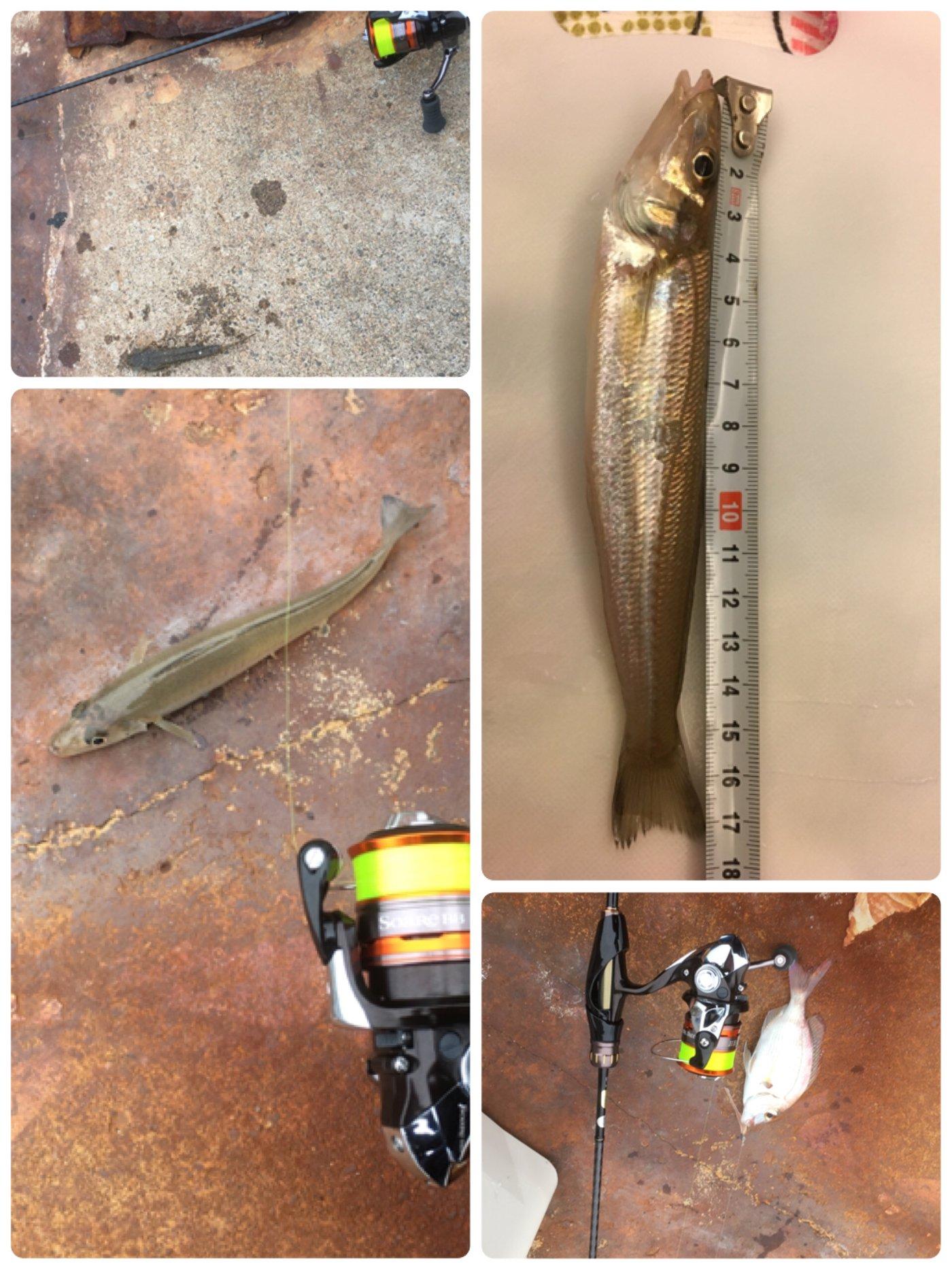 さまやんさんの投稿画像,写っている魚はシロギス,マダイ,