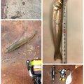 さまやんさんの三重県鳥羽市でのシロギスの釣果写真