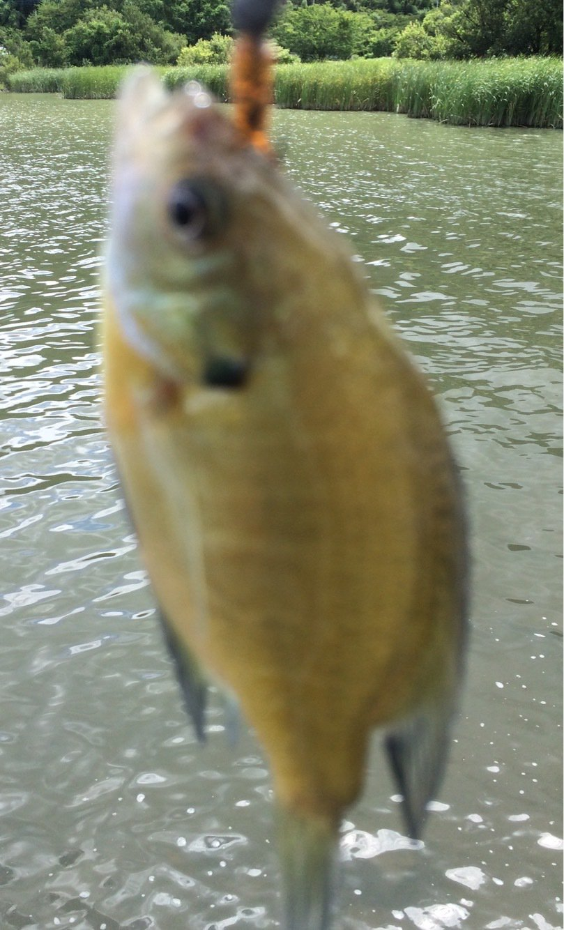 Johnnyさんの投稿画像,写っている魚はブルーギル