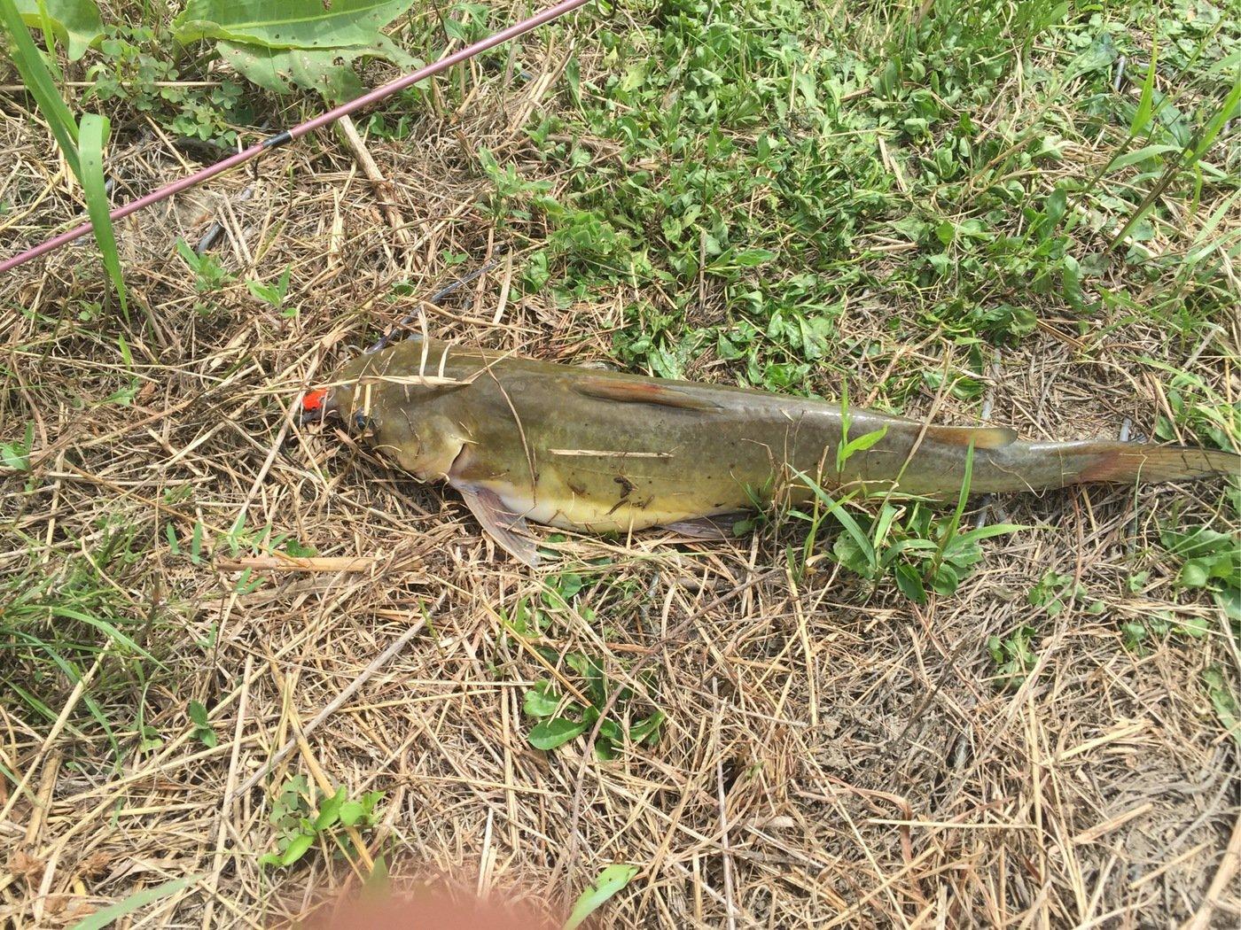rikuさんの投稿画像,写っている魚はアメリカナマズ