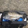 そいやさんの静岡県沼津市でのマサバの釣果写真