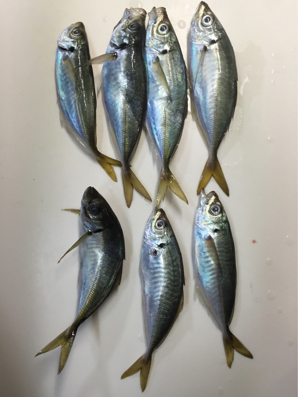tetsuさんの投稿画像,写っている魚はアジ