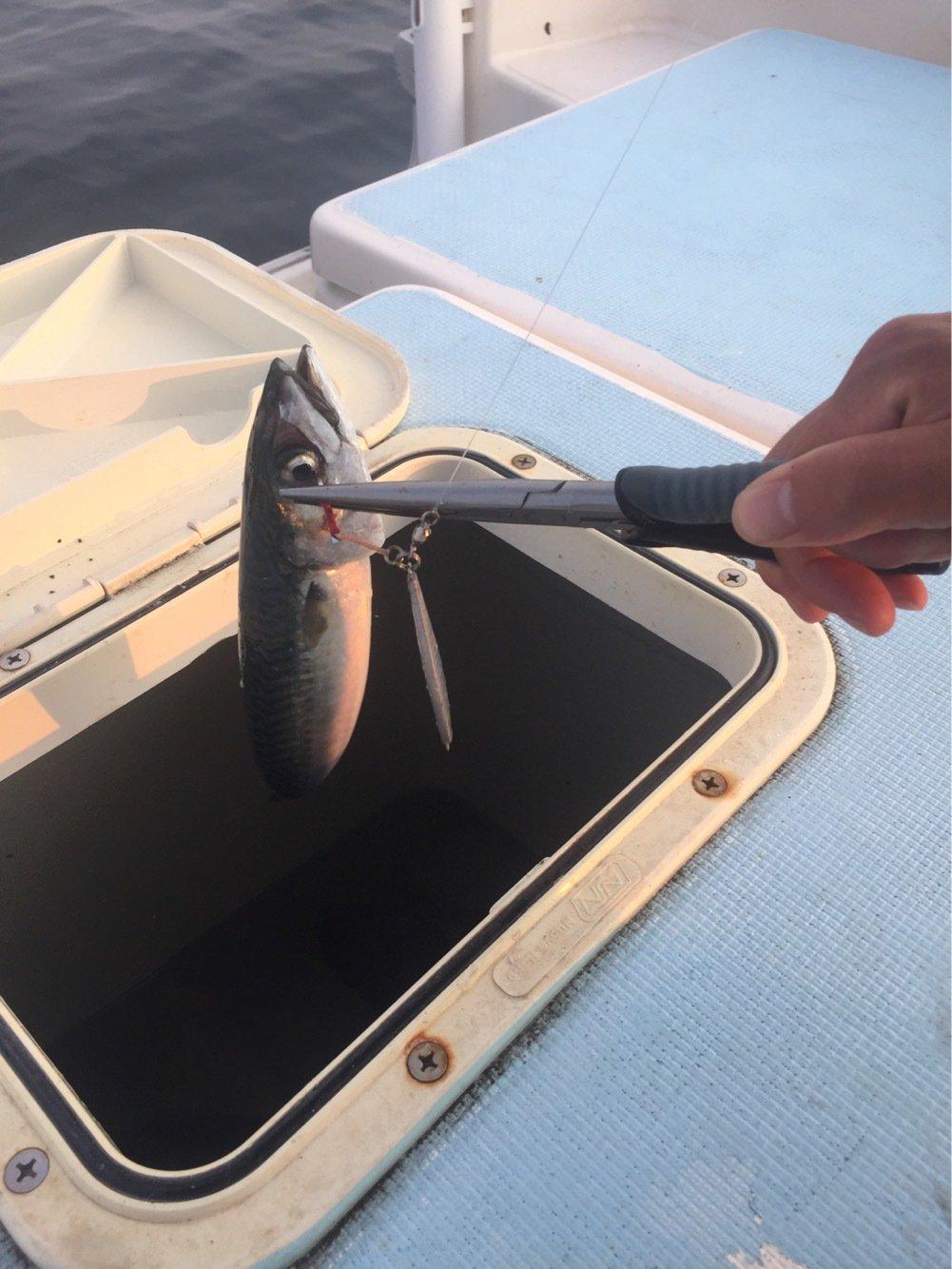 ノリさんの投稿画像,写っている魚はゴマサバ