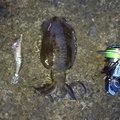 猫田大猫さんの福井県敦賀市でのアオリイカの釣果写真