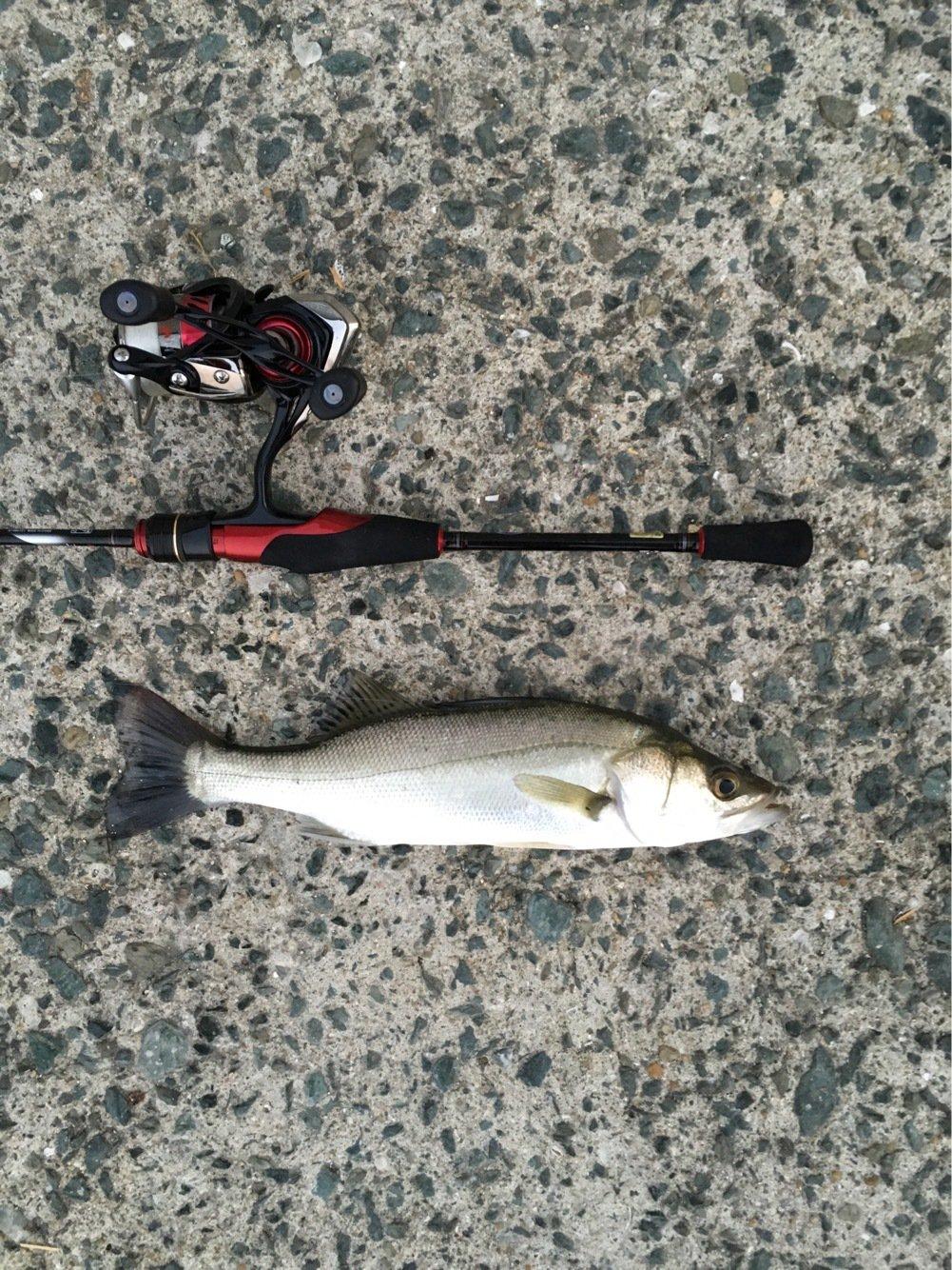 to atopさんの投稿画像,写っている魚はスズキ