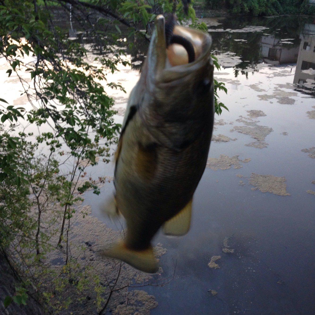341さんの投稿画像,写っている魚はブラックバス