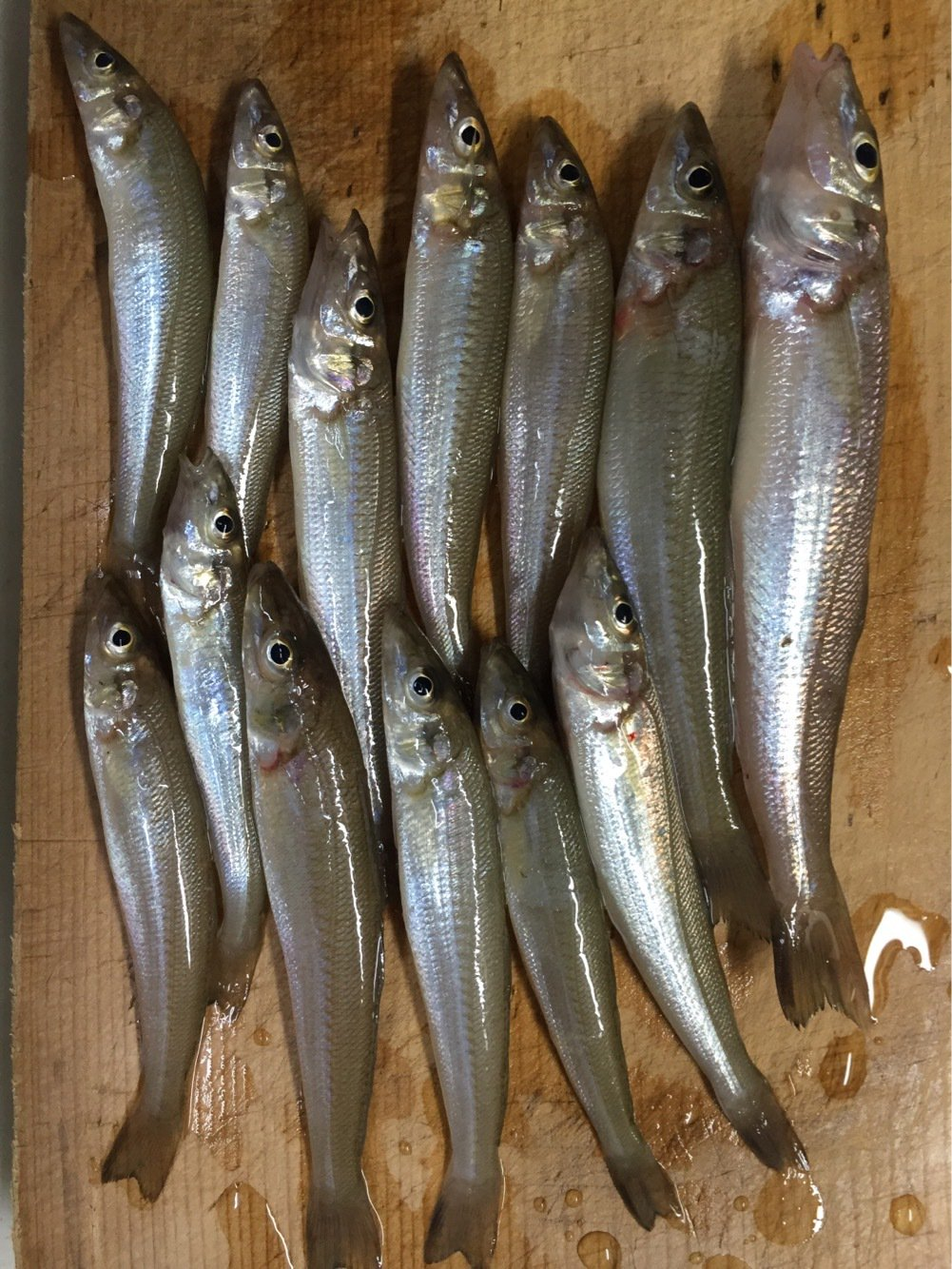 たかまっちゃんさんの投稿画像,写っている魚はシロギス