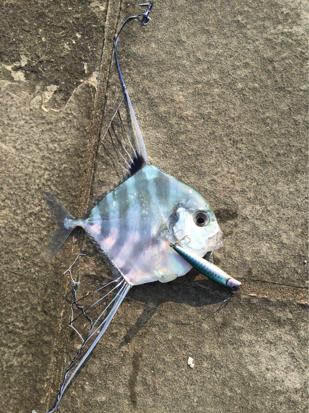 らたちゃんさんの投稿画像,写っている魚はイトヒキアジ