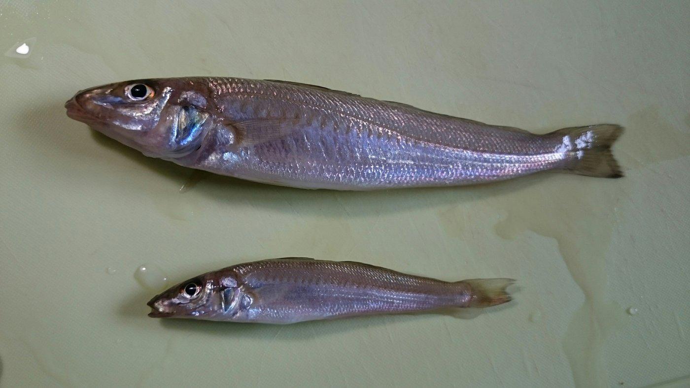 サカモンさんの投稿画像,写っている魚はシロギス