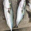 よしブーさんの和歌山県有田市での釣果写真