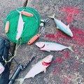 りょーへいさんの茨城県鹿嶋市でのワラサの釣果写真