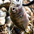 マルスさんの鹿児島県曽於郡での釣果写真