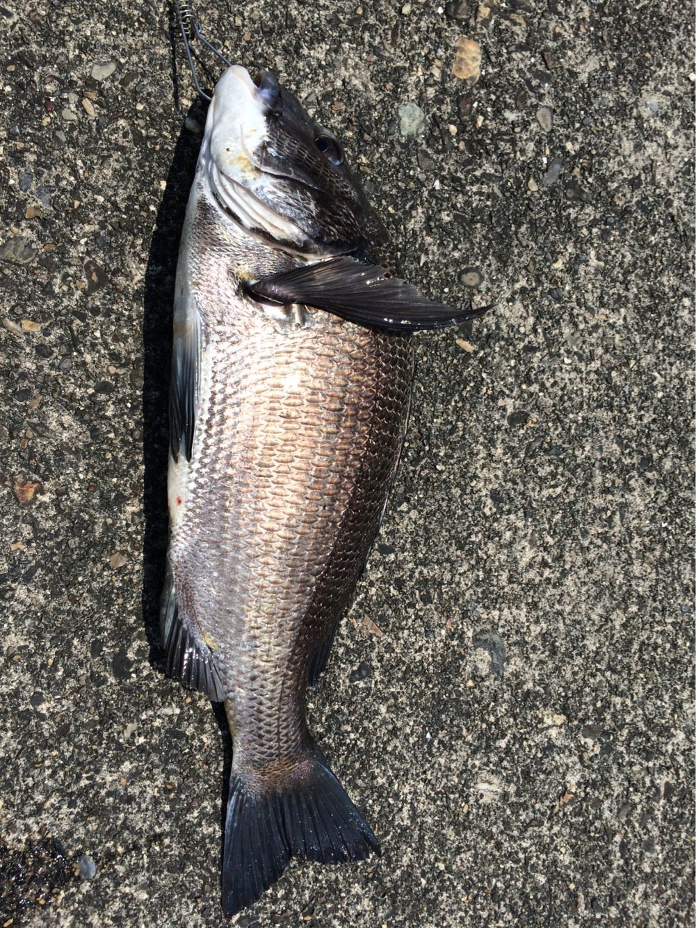 ケンさんの投稿画像,写っている魚はクロダイ