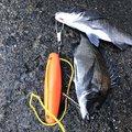 拓さんの静岡県沼津市でのクロダイの釣果写真