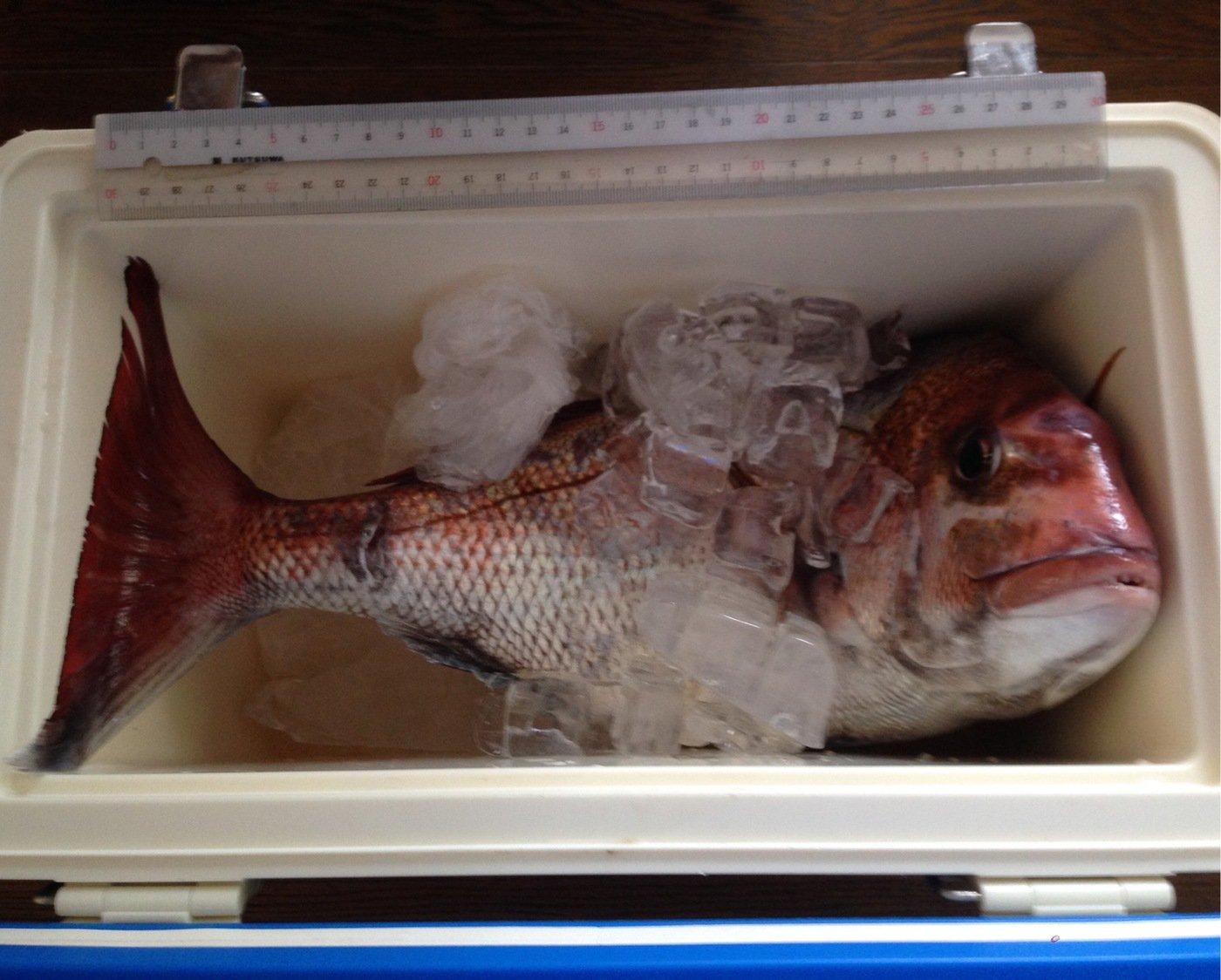 tairyou.ureshiさんの投稿画像,写っている魚はマダイ