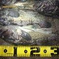 ユダヤさんの北海道でのクロソイの釣果写真