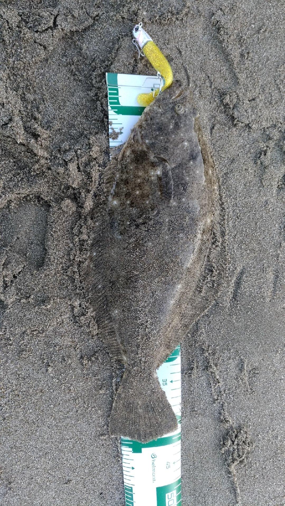 kom0831さんの投稿画像,写っている魚はヒラメ