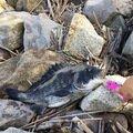 bashixさんの千葉県浦安市でのクロダイの釣果写真