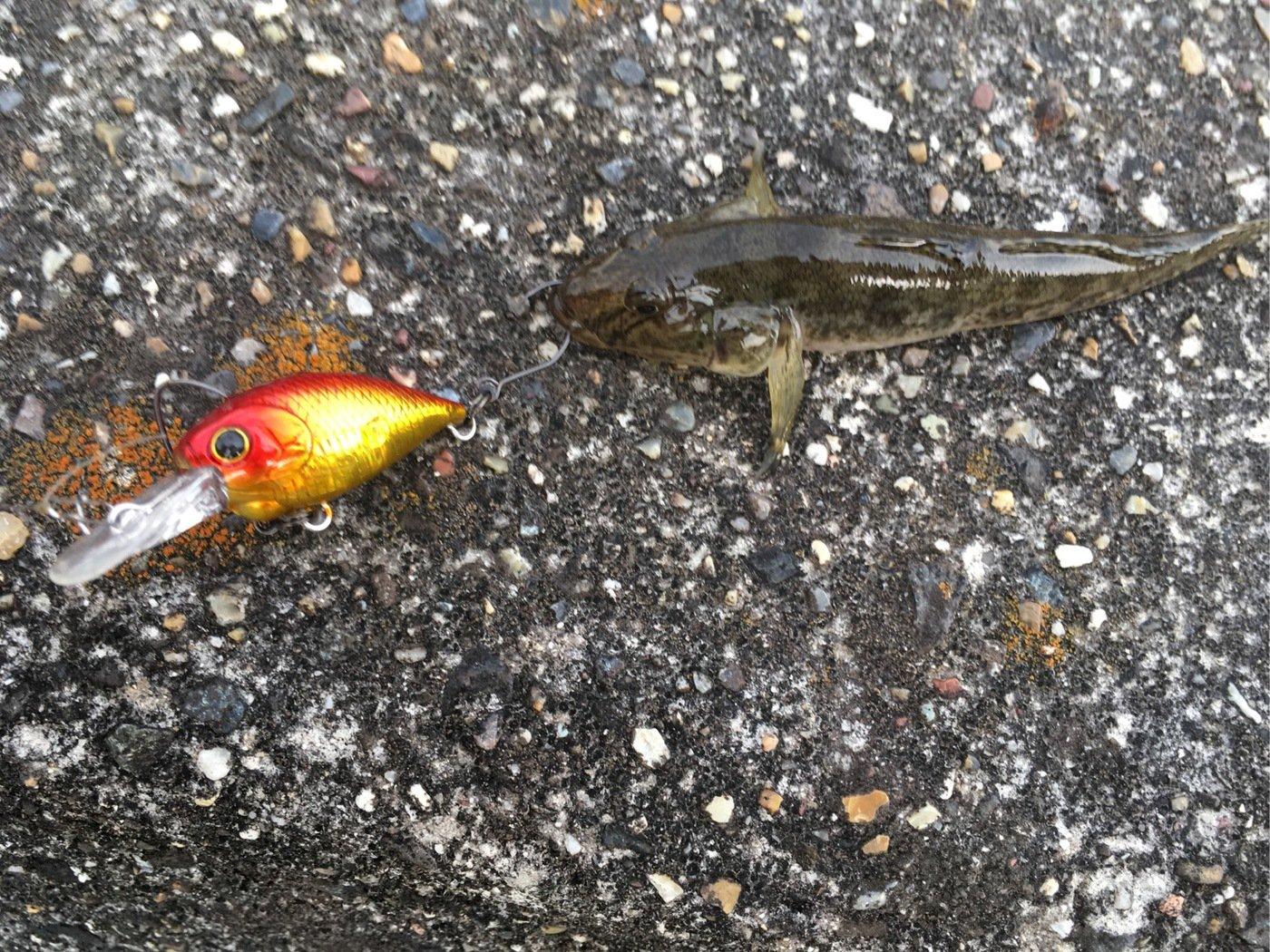 こうちゃんさんの投稿画像,写っている魚はマハゼ