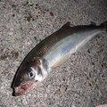 カペリンさんの北海道新冠郡での釣果写真