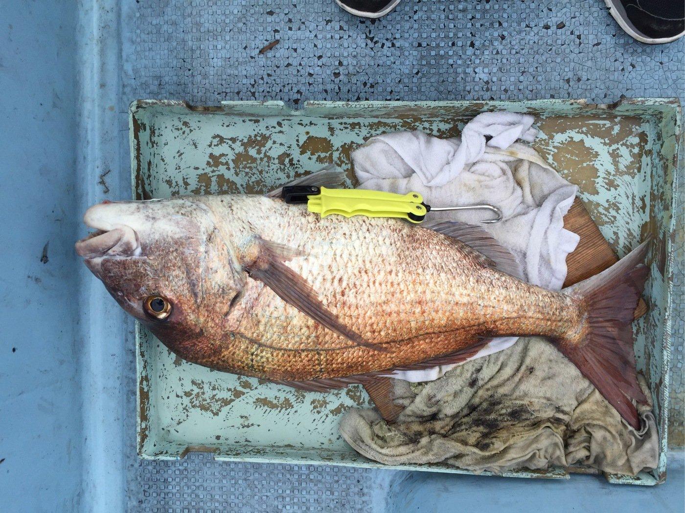 れんさんの投稿画像,写っている魚はマダイ