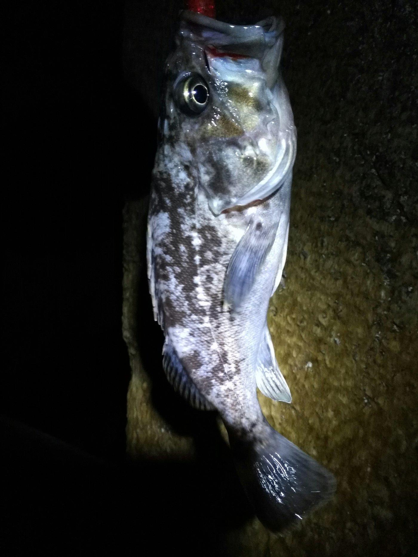 kazu snowyさんの投稿画像,写っている魚はソイ