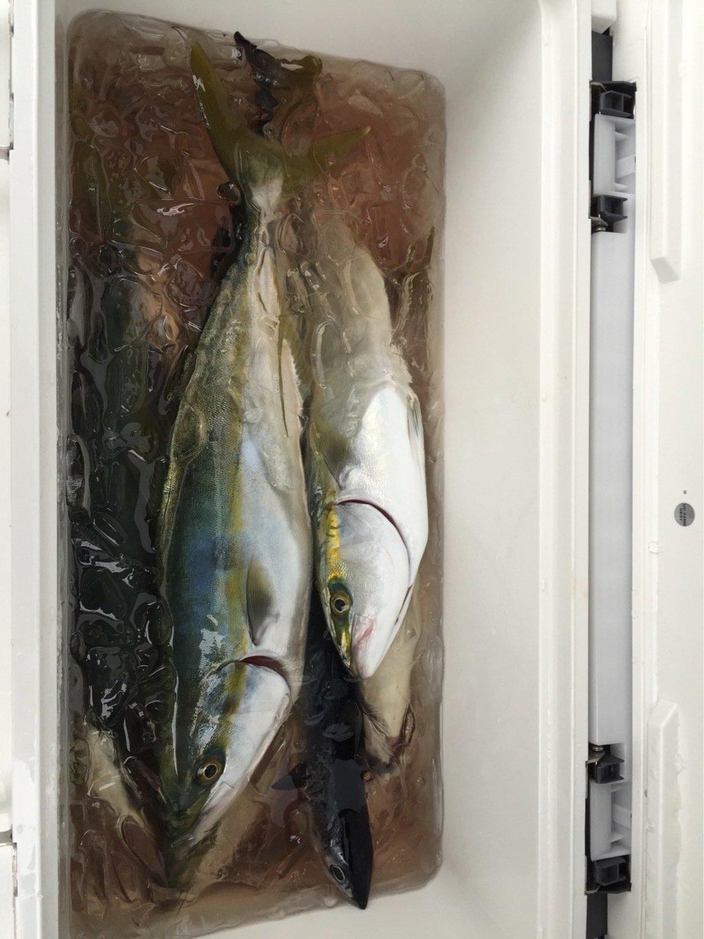 まえださんの投稿画像,写っている魚はブリ