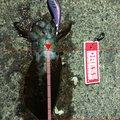 たかさんの福井県敦賀市でのアオリイカの釣果写真