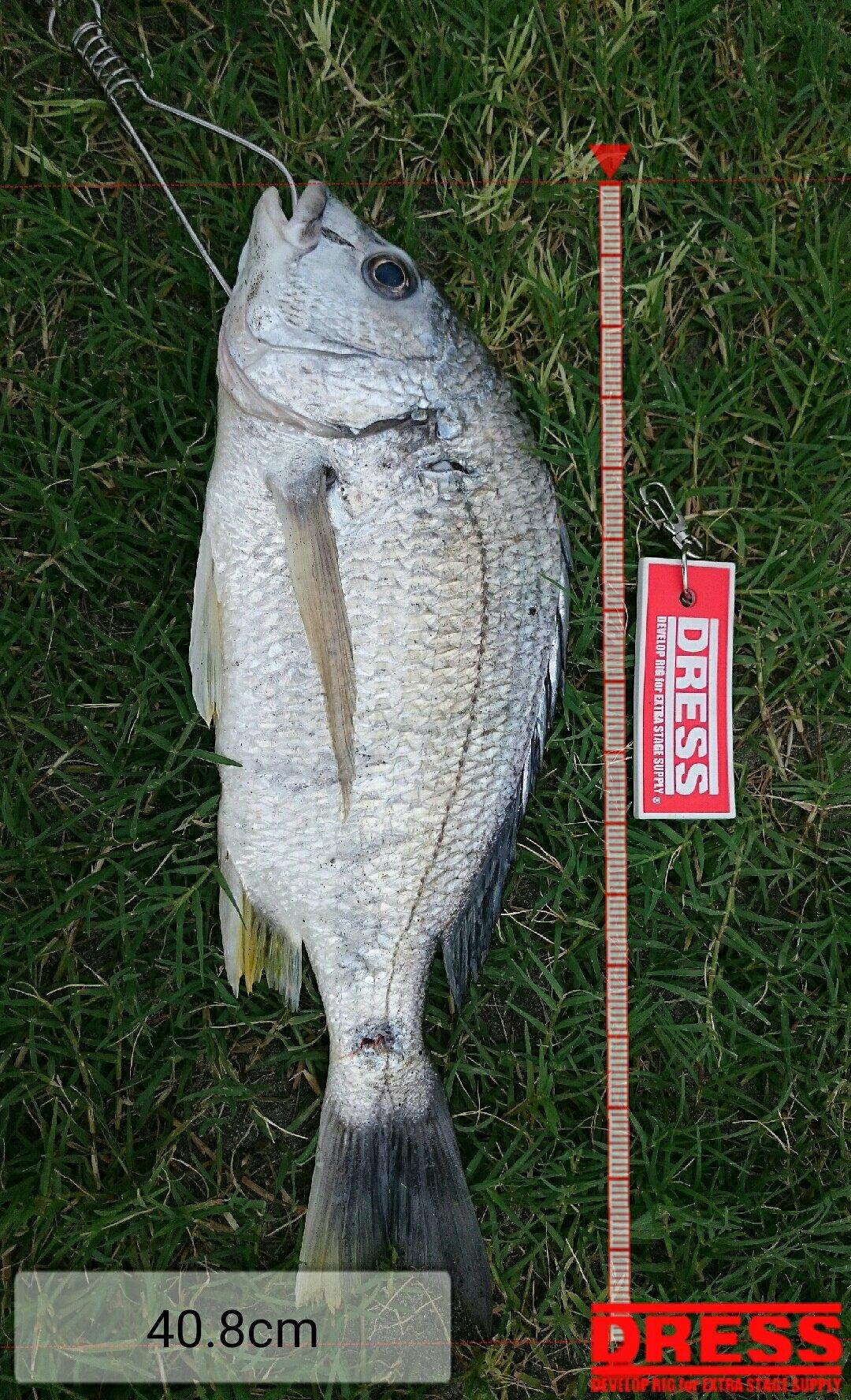 でんさんの投稿画像,写っている魚はキチヌ