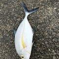 Sasasa teacherさんの沖縄県でのカスミアジの釣果写真