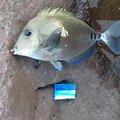 Yoichiさんのニザダイの釣果写真
