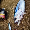のどごし生さんの新潟県長岡市での釣果写真