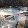 チームキチガイ2さんの青森県北津軽郡での釣果写真