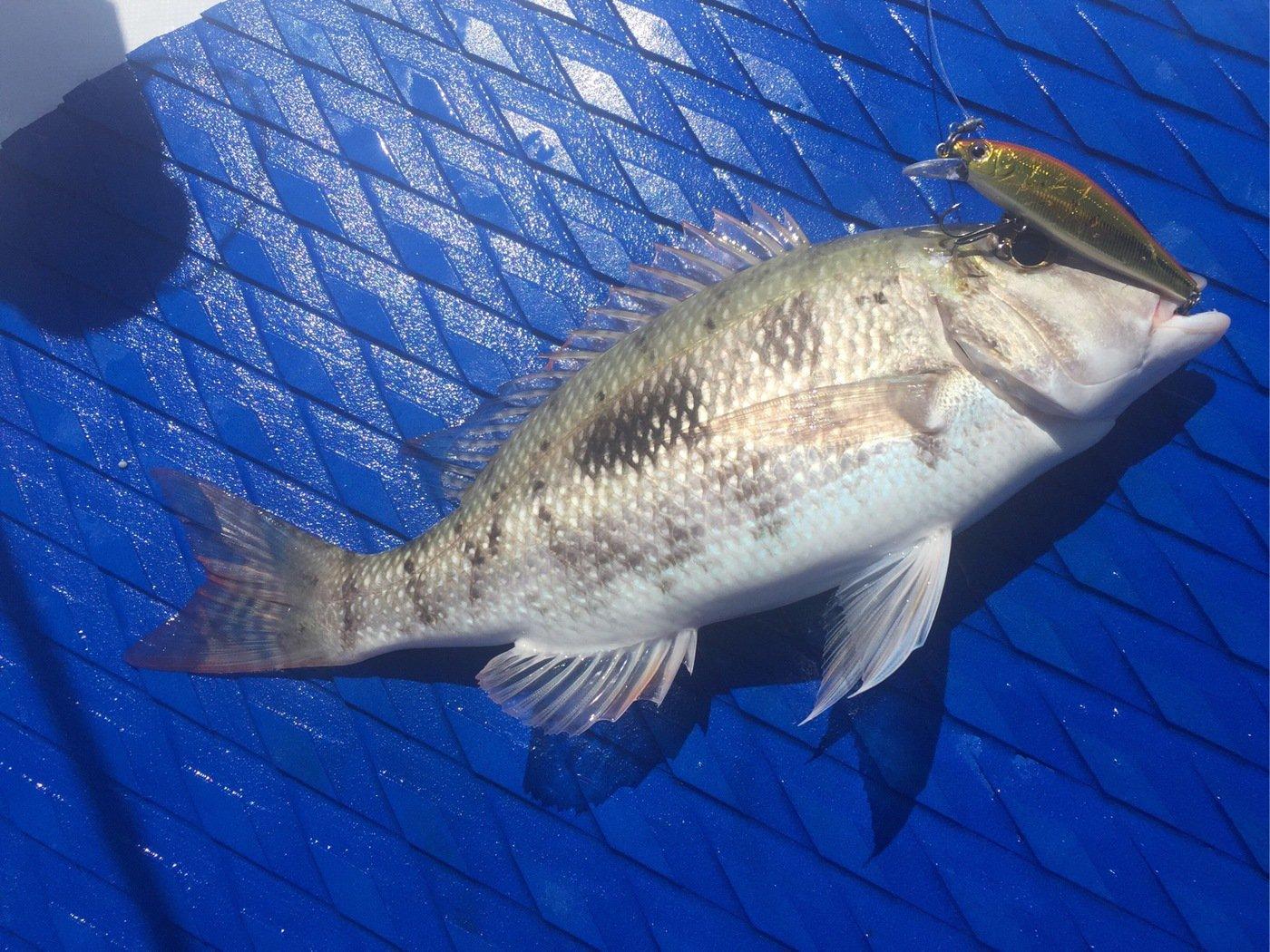 tamatamanさんの投稿画像,写っている魚は