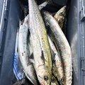 坊主丸さんの新潟県村上市での釣果写真