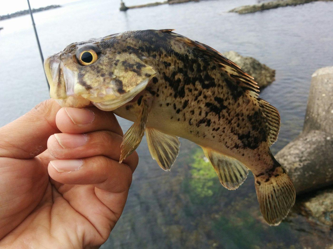 メバリストさんの投稿画像,写っている魚はタケノコメバル