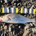 ackyさんの静岡県磐田市での釣果写真