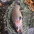 ゆ。さんの群馬県多野郡での釣果写真