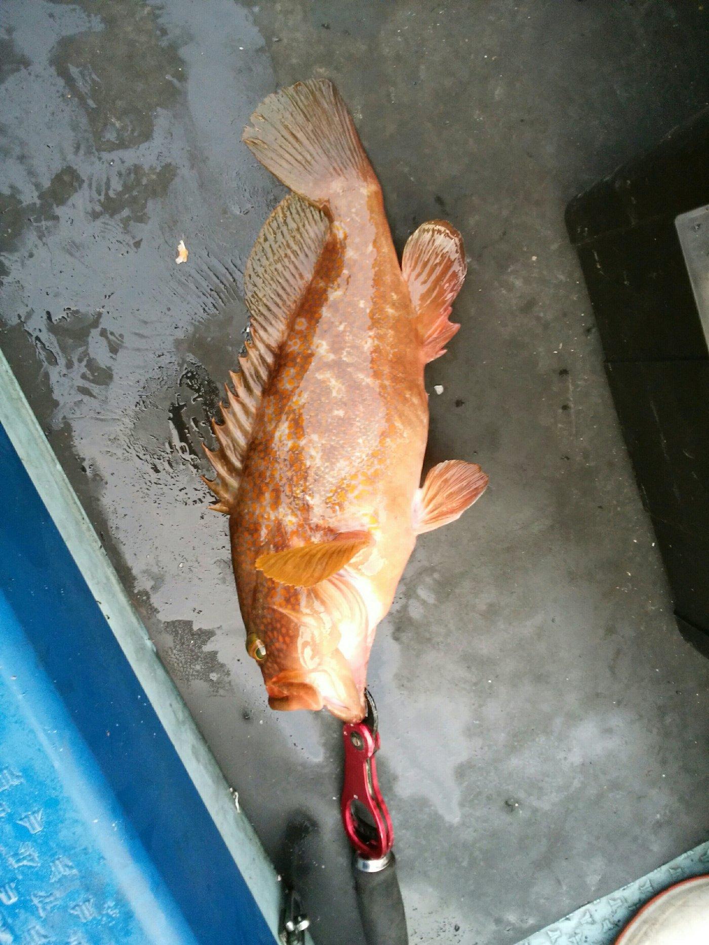 ゆうさんの投稿画像,写っている魚はキジハタ