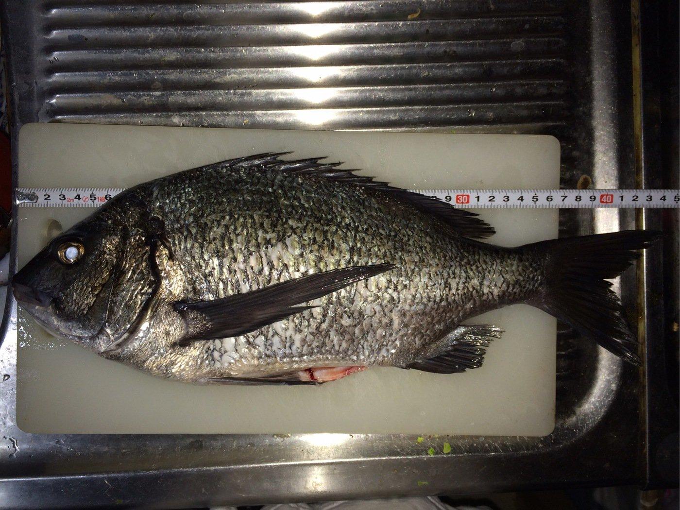 gure8さんの投稿画像,写っている魚はクロダイ