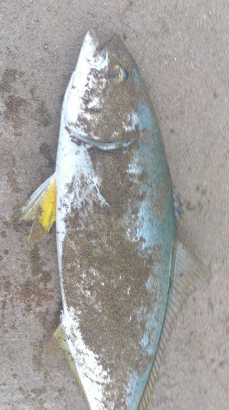 しみしょうさんの投稿画像,写っている魚は