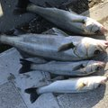 Kouheiさんのイシガレイの釣果写真