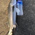 しげっちさんの石川県小松市でのスズキの釣果写真